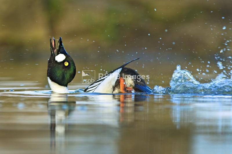 Goldeneye Bucephala clangula, adult male in mating display, Slimbridge, Glo ...