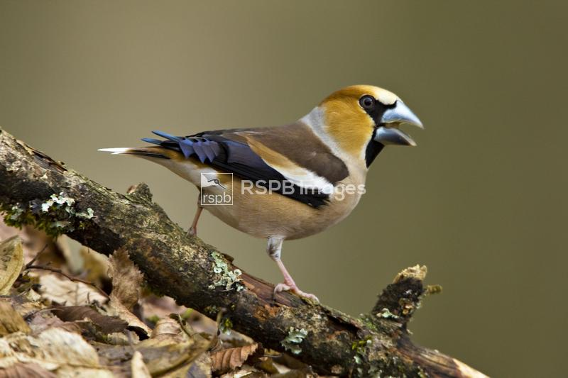 Hawfinch Coccothraustes coccothraustes, adult male standing on twig, Forest ...