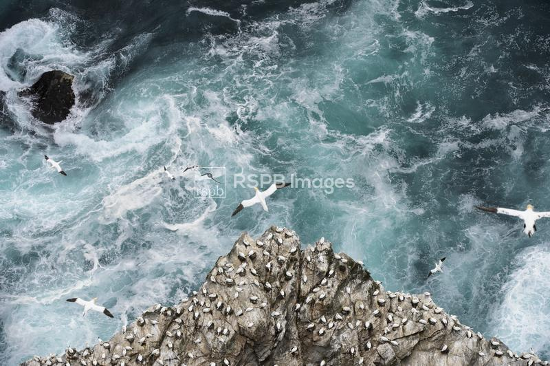 Northern gannets Morus bassanus, Gannets flying over Gannetry and stormy se ...