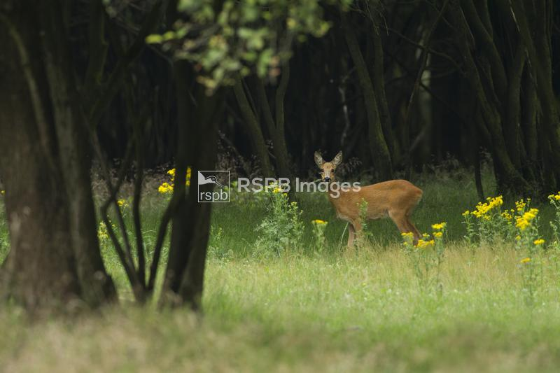 Roe Deer Capreolus capreolus, adult female standing on the edge of a woodla ...