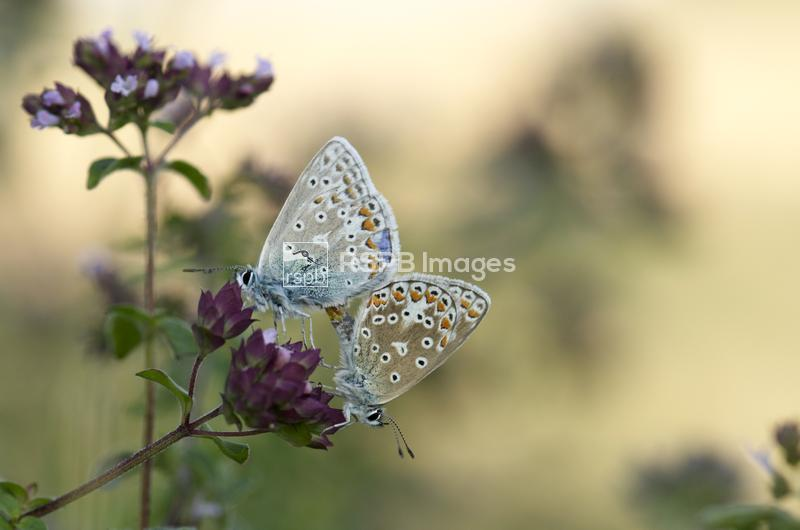 Common blue butterflies Polyommatus icarus, mating, Kent, England, July. ...