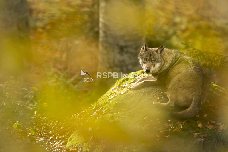Grey wolf Canis lupus, lying on mossy rock, Bavaria, October ...