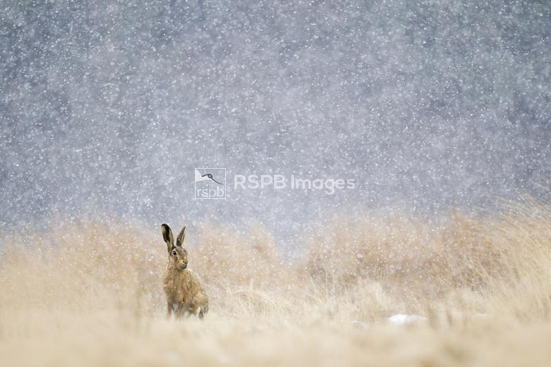 Brown hare Lepus europaeus, sitting in long grass in heavy snowfall, March ...