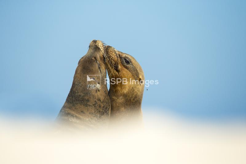 Galapagos sea lion Zalophus wollebaeki, on beach interacting, Galapagos Isl ...