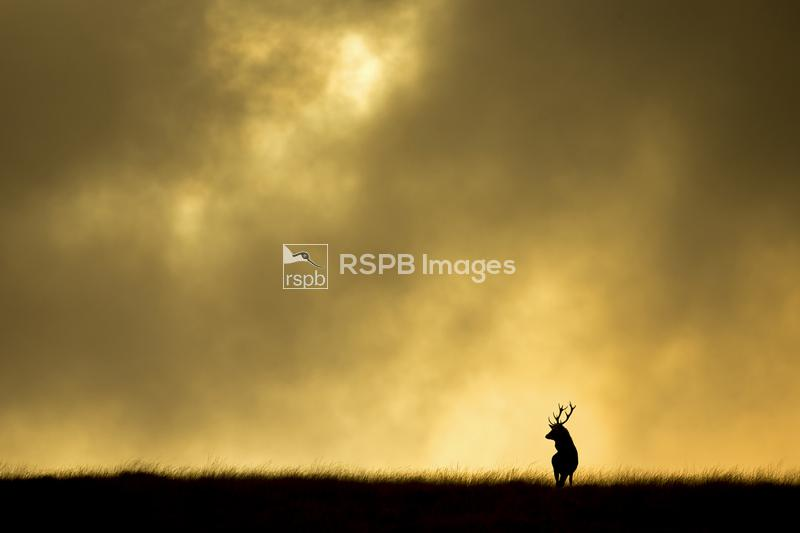 Red deer stag Cervus elaphus, silhouetted against sky at dusk, Cheshire, Oc ...