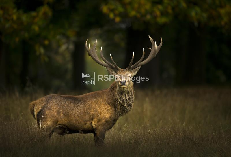 Red deer Cervus elaphus, stag, Cheshire, UK, October ...