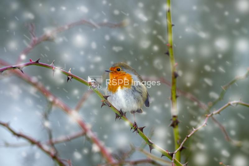 Robin Erithacus rubecula, on branch in hedgerow during snow flurry, Norfolk ...