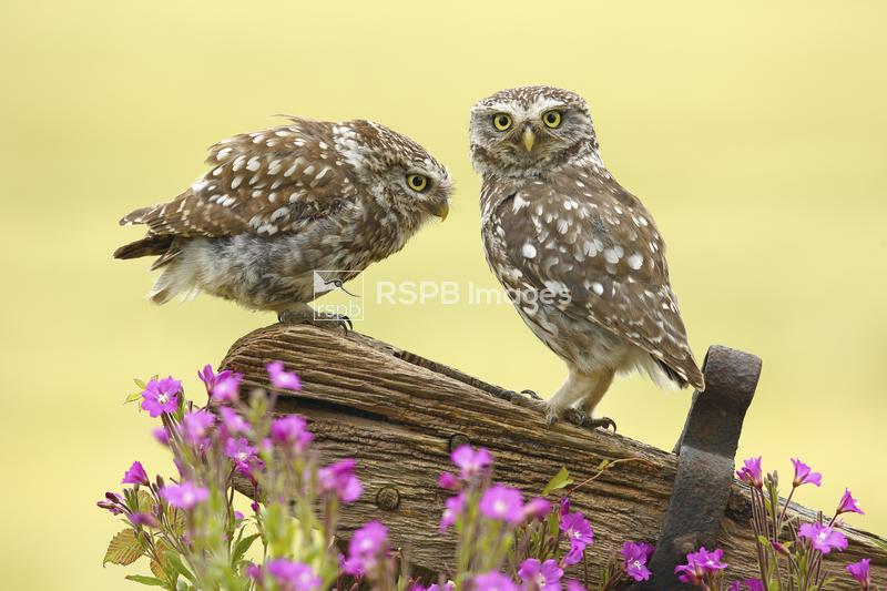 Little owl Athene noctua, two male adults interact on an old gate post, Yor ...
