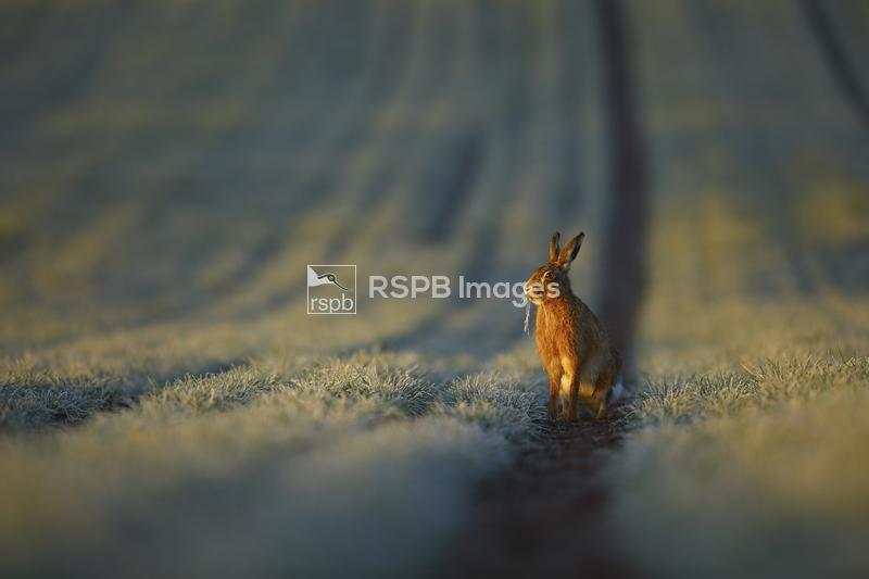 Brown hare Lepus capensis, sitting in a furrow on a frosty spring morning,  ...