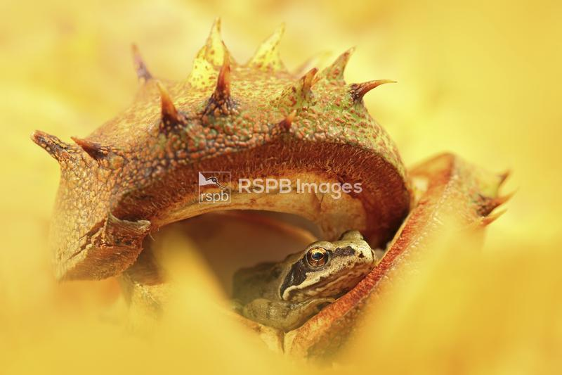 Common frog Rana temporaria, resting inside an empty Horse Chestnut shell,  ...