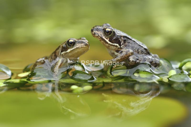 Common frogs Rana temporaria, juveniles resting on a lily pad, Bricket Wood ...
