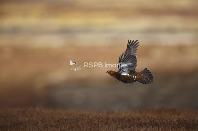 Red grouse Lagopus lagopus scotica, male in flight over heather moorland, N ...