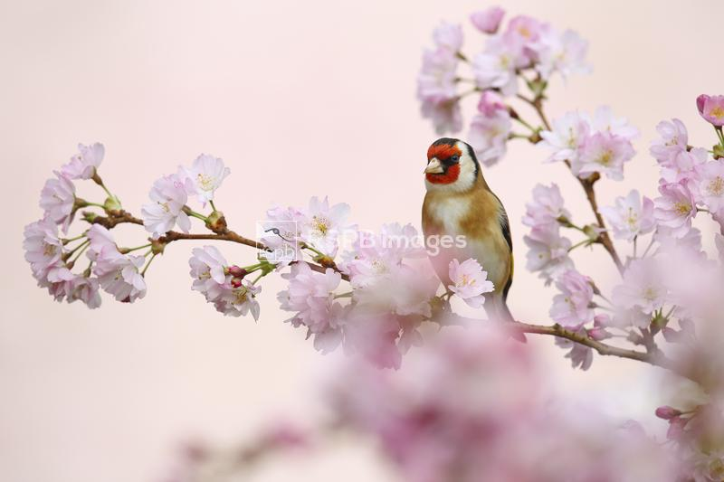 Goldfinch Carduelis carduelis, perching amongst spring blossom, York, UK, A ...