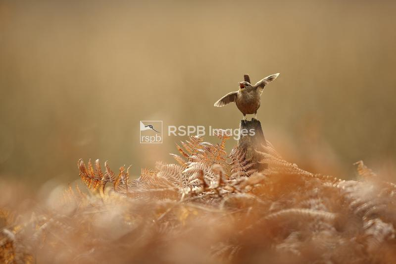Wren Troglodytes troglodytes, singing from a post in bracken, York, UK, Mar ...