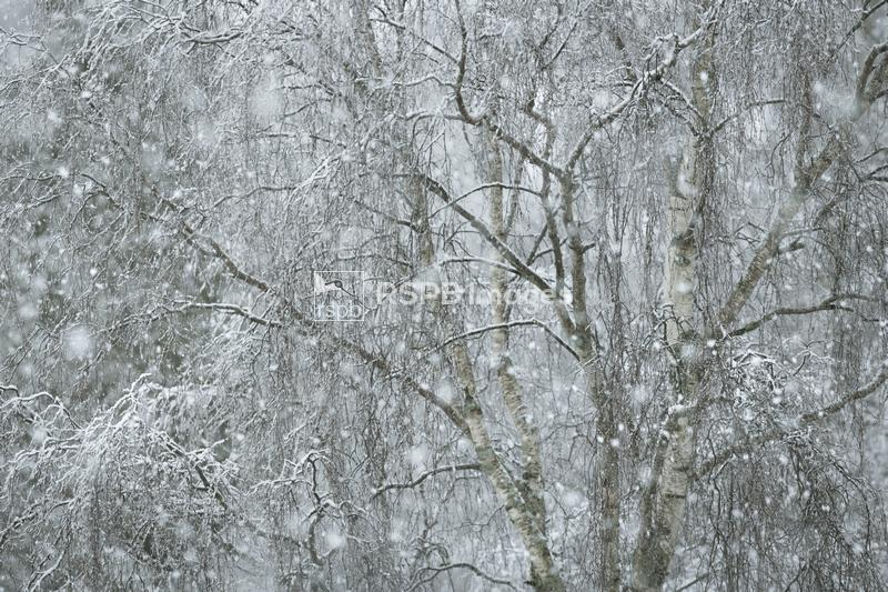 Birch trees in snow storm, Cairngorms National Park, Scotland, February ...