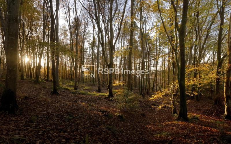 Autumn tree colours in Minwear Woods, Pembrokeshire, Wales, November ...