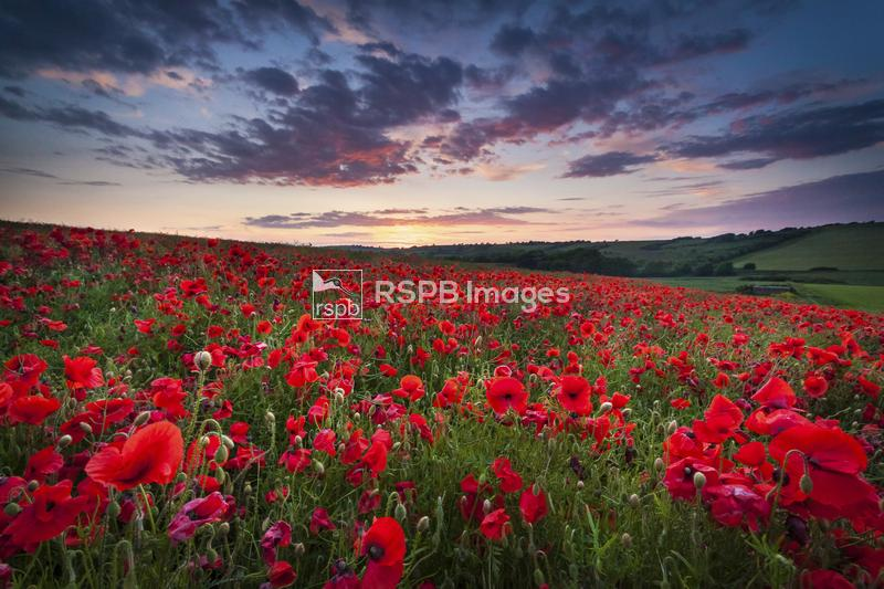 Poppy Field at sunset, Pembrokeshire, Wales, June ...