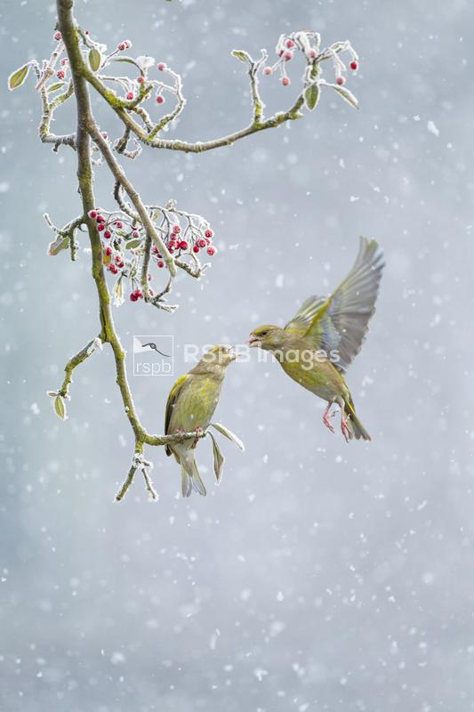 Greenfinch Chloris chloris, pair, one perched on branch and one hovering in ...