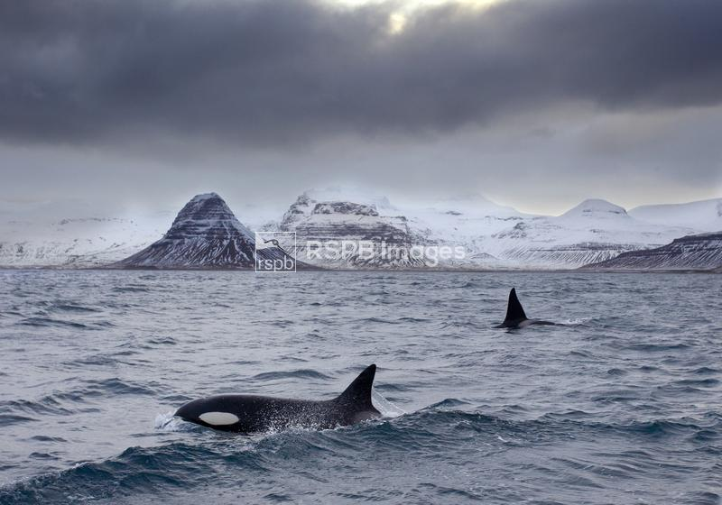Orcas Orcinus orca, Pair in sea surrounded by mountains, Iceland, January ...