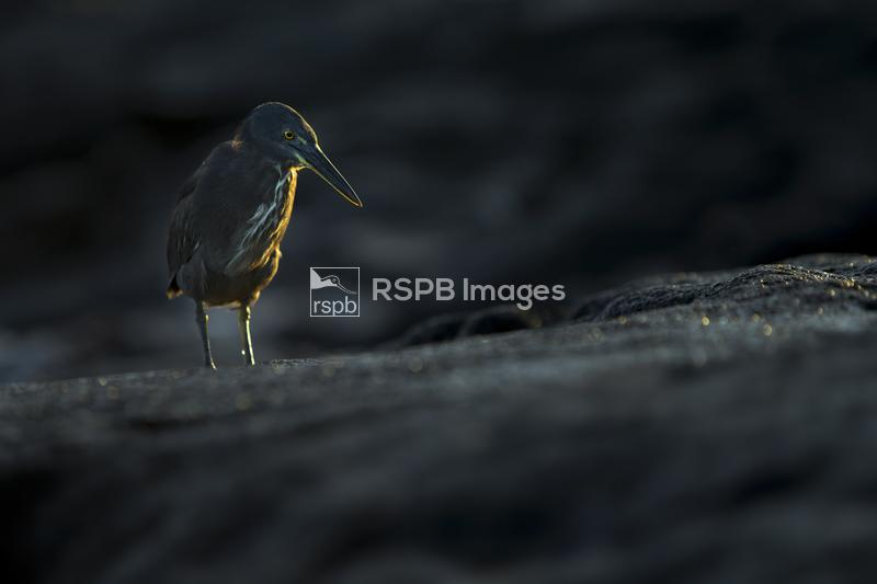 Lava heron Burorides sundevalli, standing on lava, Galapagos Islands, April ...