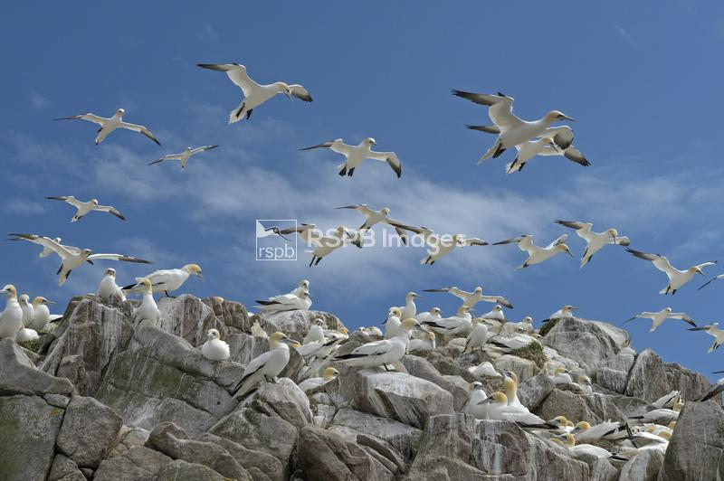 Northern gannet Morus bassanus, flock at nesting colony, Great Saltee islan ...