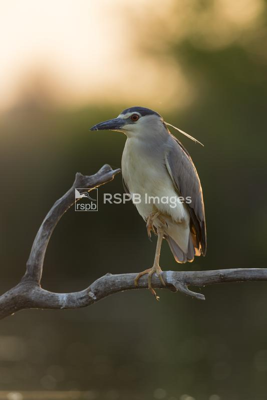 Black-crowned night heron Nycticorax nycticorax, adult, perched on fallen b ...