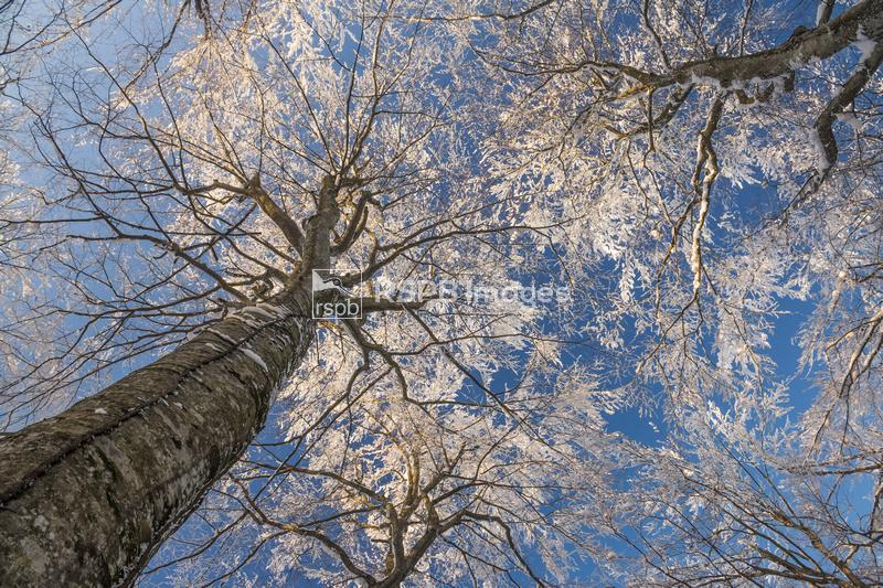 A snow covered deciduous woodland canopy, Plitvice Lakes National Park, Cro ...