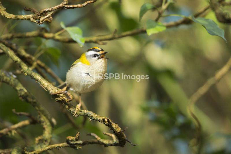Firecrest Regulus ignicapilla, adult male, singing from ivy bush, New Fores ...