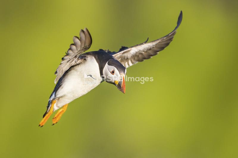 Atlantic puffin Fratercula artica, coming in to land, Skomer Island, Pembro ...