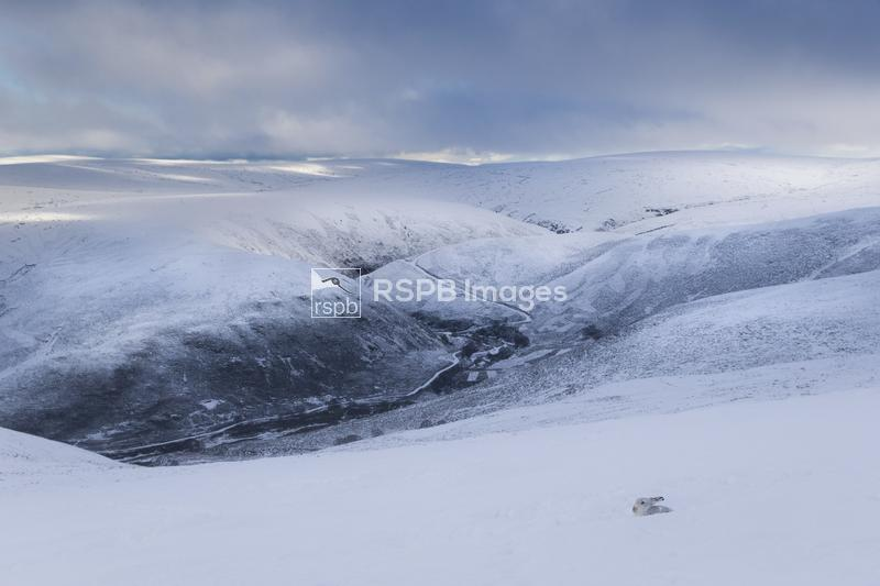 Mountain hare Lepus timidus, in a snowy landscape, Cairngorms National Park ...