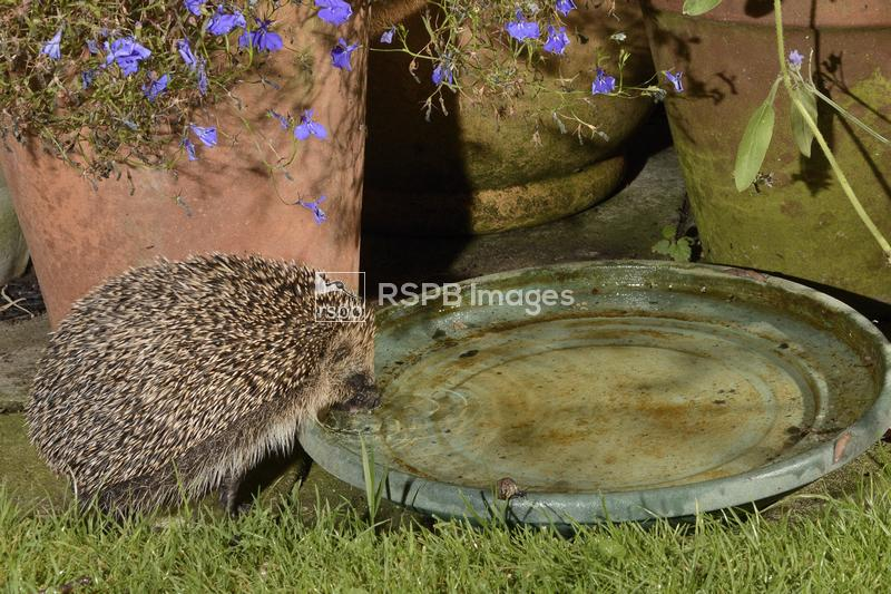 Hedgehog Erinaceus europaeus, lapping water from a bowl left out on a patio ...