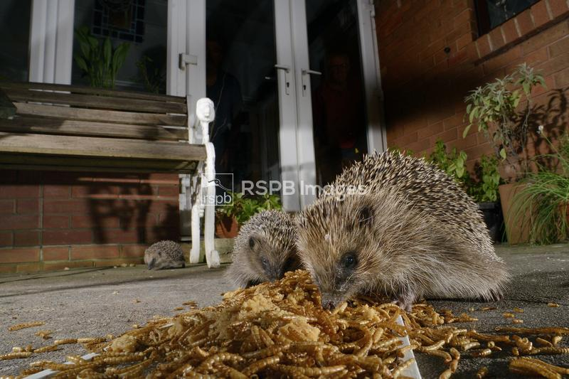 Hedgehogs Erinaceus europaeus, two feeding on mealworms left out for them o ...
