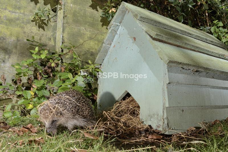 Hedgehog Erinaceus europaeus, emerging from a hedgehog house at night in a  ...