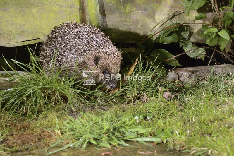 Hedgehog Erinaceus europaeus, entering a suburban garden from the next door ...