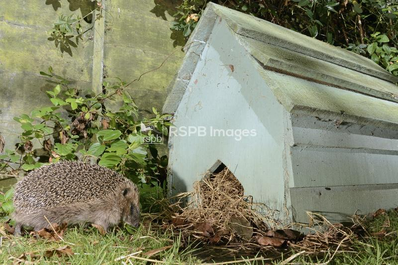 Hedgehog Erinaceus europaeus, returning to a hedgehog house at night in a s ...