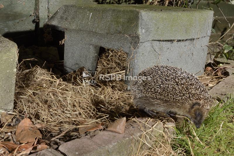 Hedgehog Erinaceus europaeus, leaving a hedgehog house at night in a suburb ...