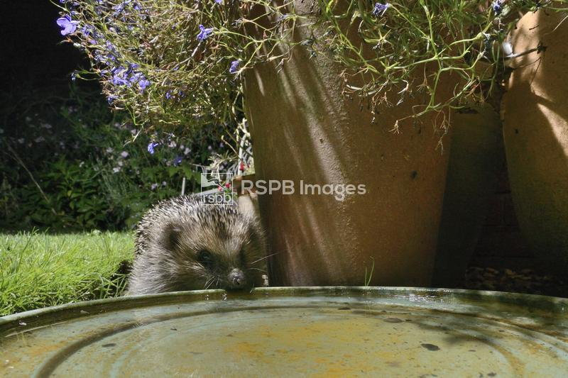 Hedgehog Erinaceus europaeus, visiting a water bowl left out on a patio for ...