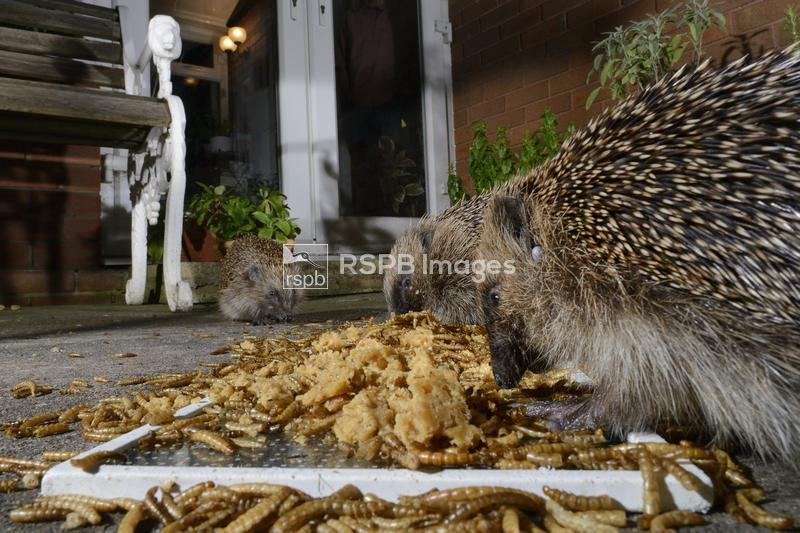 Hedgehog Erinaceus europaeus, two feeding on mealworms and oatmeal left out ...