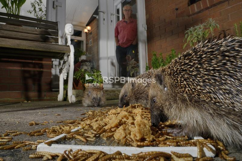 Hedgehog Erinaceus europaeus, three feeding on mealworms and oatmeal left o ...