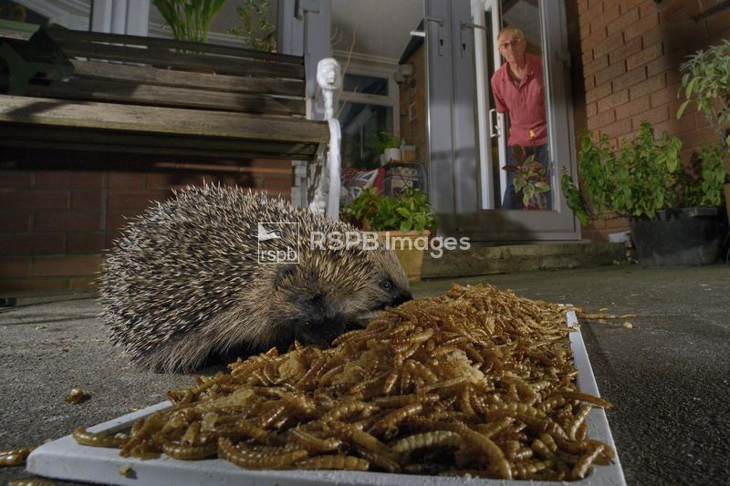 Hedgehog Erinaceus europaeus, two feeding on mealworms left out for them on ...