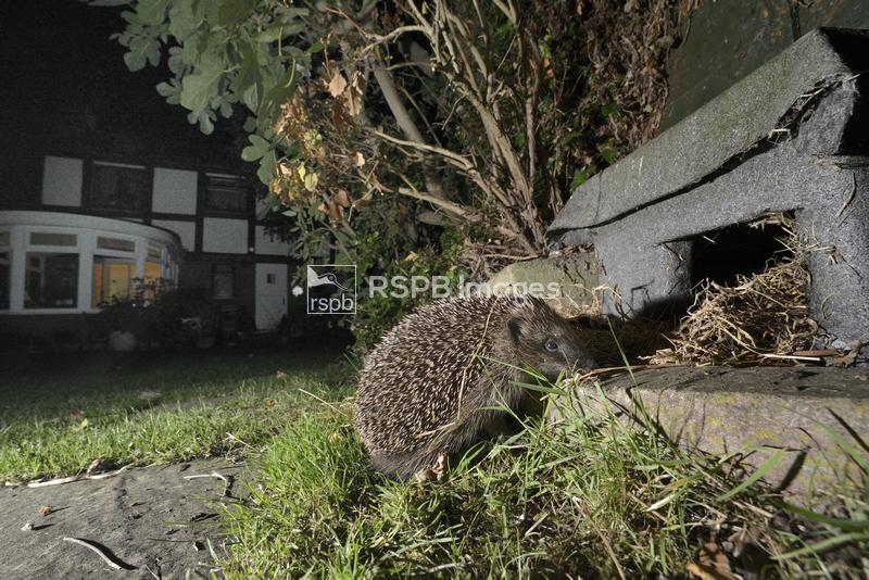 Hedgehog Erinaceus europaeus, heading for a hedgehog house at night in a su ...