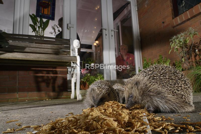Hedgehog Erinaceus europaeus, three feeding on mealworms left out for them  ...