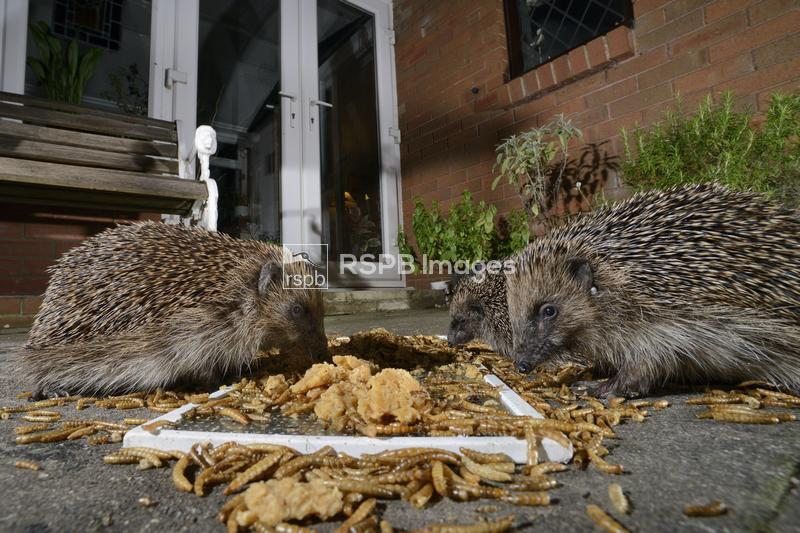 Hedgehog Erinaceus europaeus, feeding on mealworms and oatmeal left out for ...