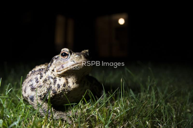 Common toad Bufo bufo on a lawn in an urban garden at night, Bedfordshire,  ...