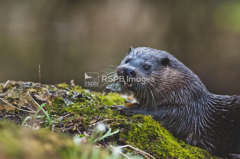 European Otter Lutra lutra, at river bank eating signal crayfish, Thetford, ...