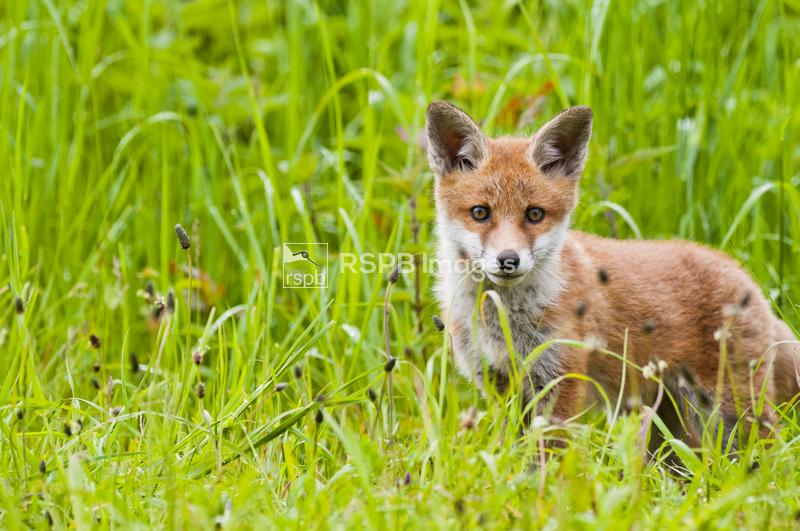 Red fox Vulpes vulpes, cub exploring outside the den, Rye Meads nature rese ...