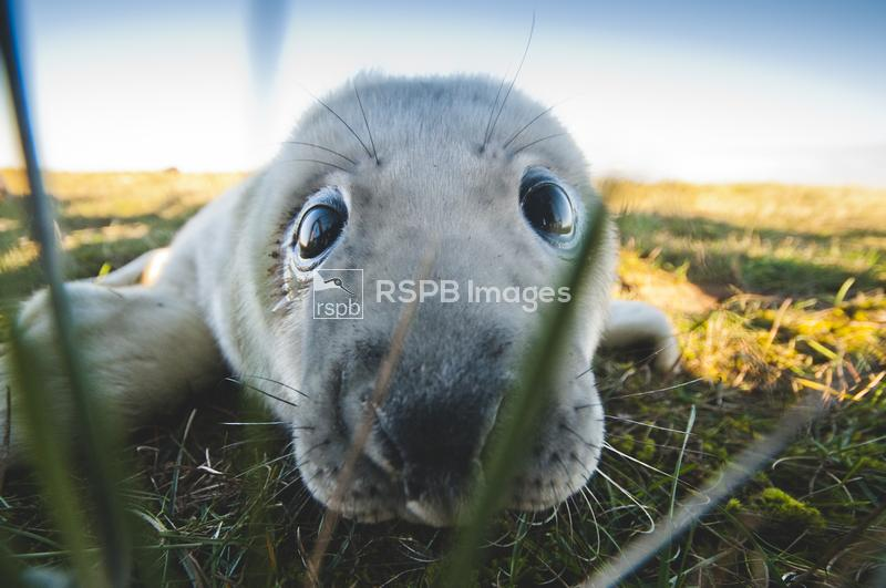 Grey seal Halichoerus grypus, pup looking through a gap in the fence to the ...