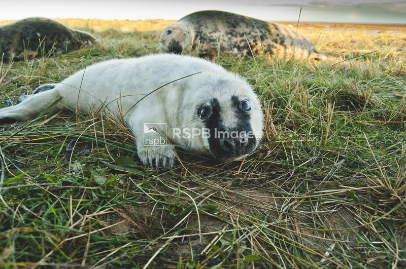 Grey seal Halichoerus grypus, mother and pup lying grass covered dunes, Don ...