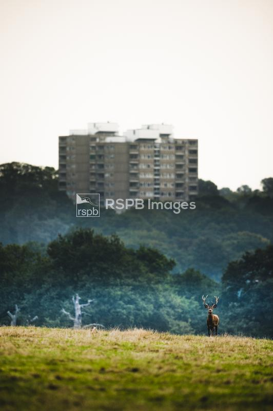 Red deer Cervus elaphus, looking out accross the grassland with towerblock  ...