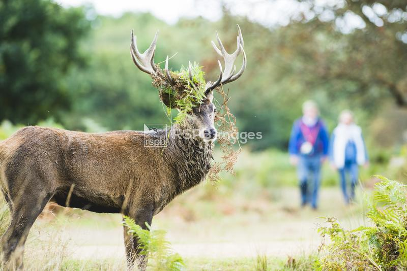 Red deer Cervus elaphus,  standing with fern crest with walkers behind, Ric ...